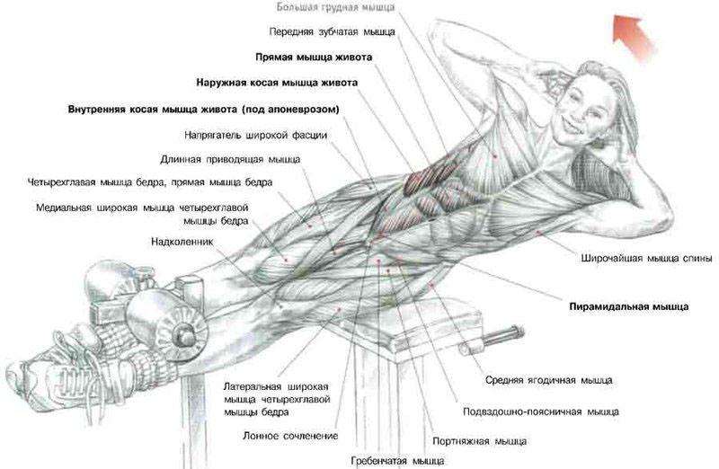 Схема задействования мышц при выполнении боковых подъемов