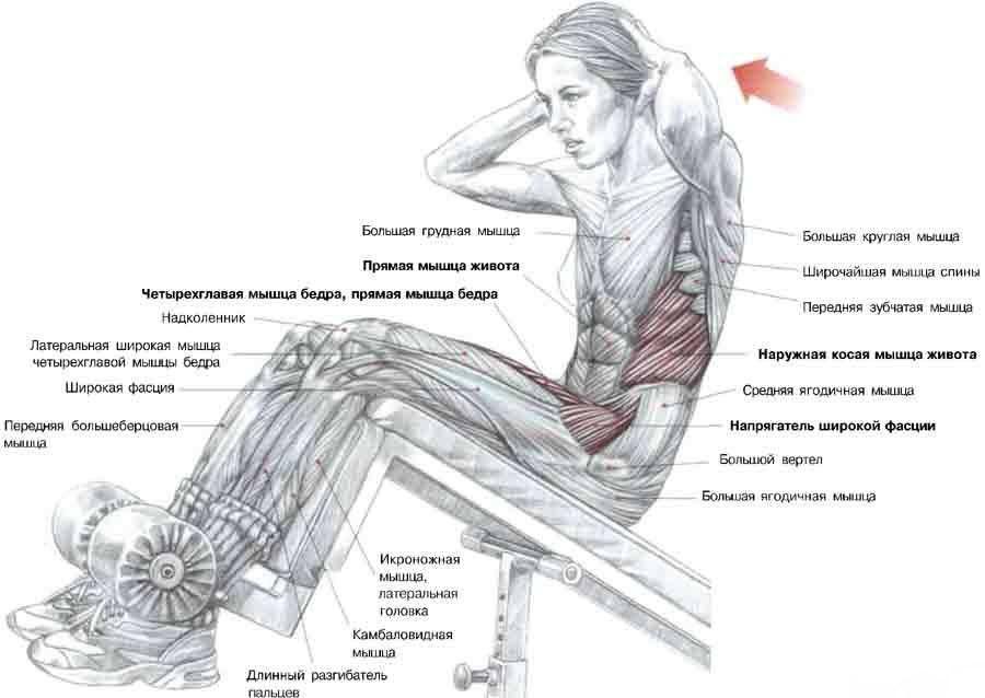 Схема задействования мышц при выполнении упражнения на пресс
