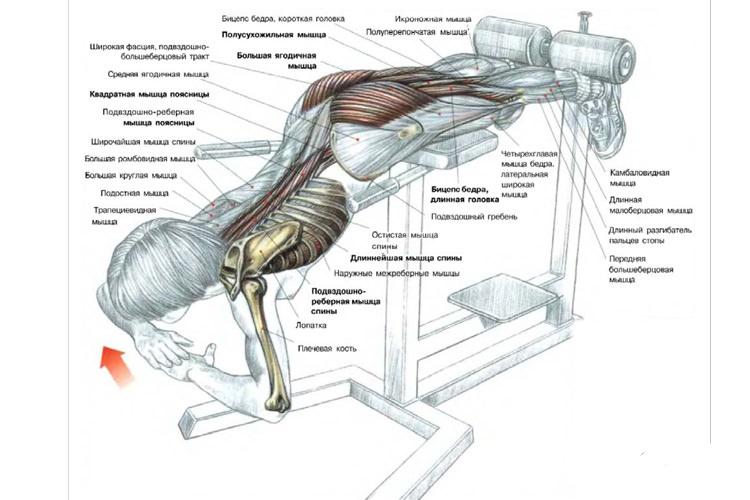 Схема задействования мышц при выполнении гиперэкстензии