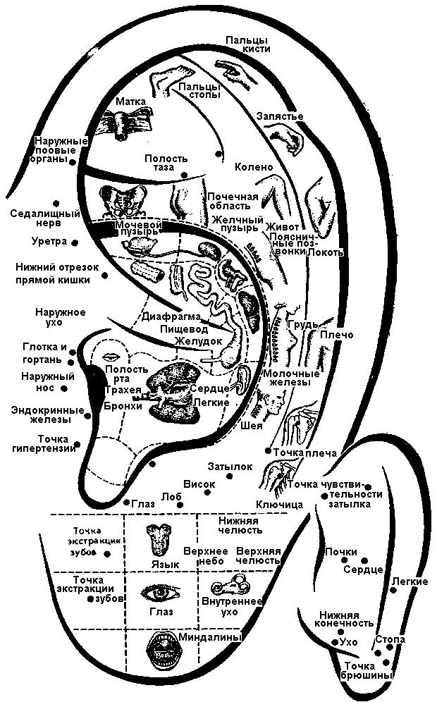Акупунктурные точки на ухе